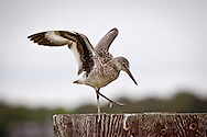 A willet alights on a post at Crosby Landing in Brewster.