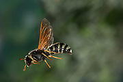 A pollen wasp (Pseudomasaris vespoides) Photographed via permit at Big Hole National Battlefield, Montana.