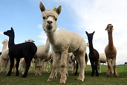 May 6, 2018 - Christchurch, New Zealand - A group of alpacas stands at Sherlin Alpaca Stud farm in the Selwyn District in Christchurch. Alpaca were first imported to New Zealand in the late 1980s from Chile. (Credit Image: © Sanka Vidanagama/NurPhoto via ZUMA Press)