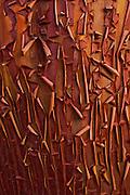 Manzanita Bark detail, Sierra Nevada Foothills, California