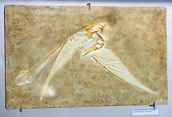 15.03.2016, Museum fuer Naturkunde, Berlin, GER, Naturkundemuseum Berlin, im Bild Versteinerung eines langschwaenziger Flugsaurier (Rhamphorhynchus muensteri) // Exhibits in the Natural History Museum Museum fuer Naturkunde in Berlin, Germany on 2016/03/15. EXPA Pictures © 2016, PhotoCredit: EXPA/ Eibner-Pressefoto/ Schulz<br /> <br /> *****ATTENTION - OUT of GER*****