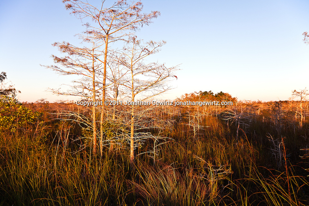Morning sun washes over bald cypress trees in the Florida Everglades sawgrass prairie. WATERMARKS WILL NOT APPEAR ON PRINTS OR LICENSED IMAGES.