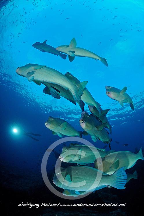 Bolbometopon muricatum, Schule von Bueffelkopf-Papageifischen, school of Green humphead parrotfish, Bumphead parrotfish, Liberty Wreck Wrack, Tulamben, Bali, Indonesien, Indopazifik, Indonesia Asien, Indo-Pacific Ocean, Asia