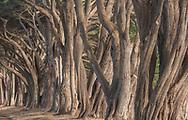 Cypress Trees at the Tree Tunnel, Point Reyes National Seashore, Marin County, California