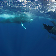 A mature bull sperm whale, which was significantly larger in size than the females and juveniles, perhaps approaching 20 meters in length. As soon as the large male announced its arrival in the area with a series of loud clangs, the other whales swam toward it to socialize. Mature males spend more time in higher latitudes in the northern hemisphere and lower latitudes in the southern, so in-water encounters with them are relatively infrequent.