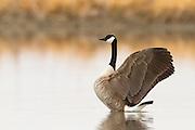 Canada Goose, Montana.
