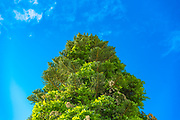 Green tree on a saturated blue sky background