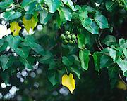 Kukui nut tree<br />