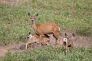 Mule deer doe nursing fawns