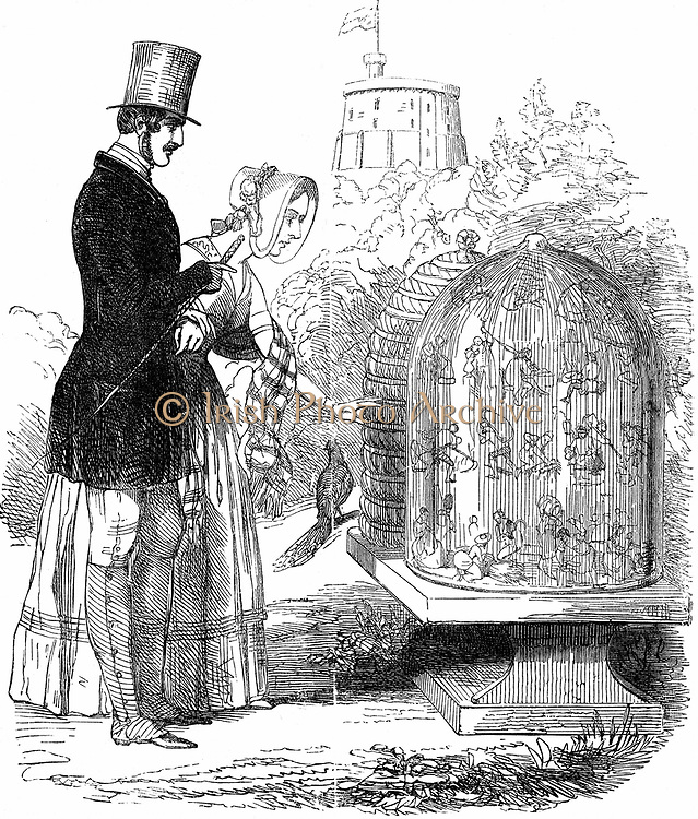 Albert showing his hives to Victoria. Albert (1819-1861) Prince Consort of Queen Victoria, introduced improved hives in royal apiaries, allowing honey to be harvested and bee colony (workers) preserved with just enough honey to exist over winter. Cartoon from 'Punch' 1844, equating bees with exploited British labourers.