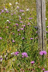 Knoopkruid, Centaurea jacea