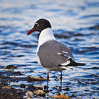 An adult laughing gull (Larus atricilla) forages for horseshoe crab eggs along the shore, Port Mahon, Delaware.