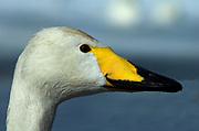 Whooper swan, Cygnus cygnus, close up of face, portrait, Kussharo-ko, Hokkaido Island, Japan, japanese, Asian, wilderness, wild, untamed, ornithology, snow, graceful, majestic, aquatic, .