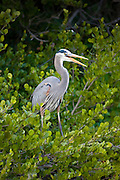 Great Blue Heron, Ardea herodias, squawking from tree branches in the Everglades, Florida, USA