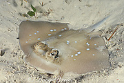 bluespotted or blue-spotted stingray, <br /> Dasyatis kuhlii, Mabul Island, off Borneo, <br /> Sabah, Malaysia  ( Celebes Sea )
