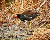 Common Gallinule. John Chesnut Senior Park, Pinellas County. Image taken with a Nikon Df camera and 300 mm f/4 lens (ISO 2200, 300 mm, f/4, 1/1250 sec).