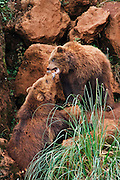 Two young bears are playfighting in the Wildlife Park of Cabárceno