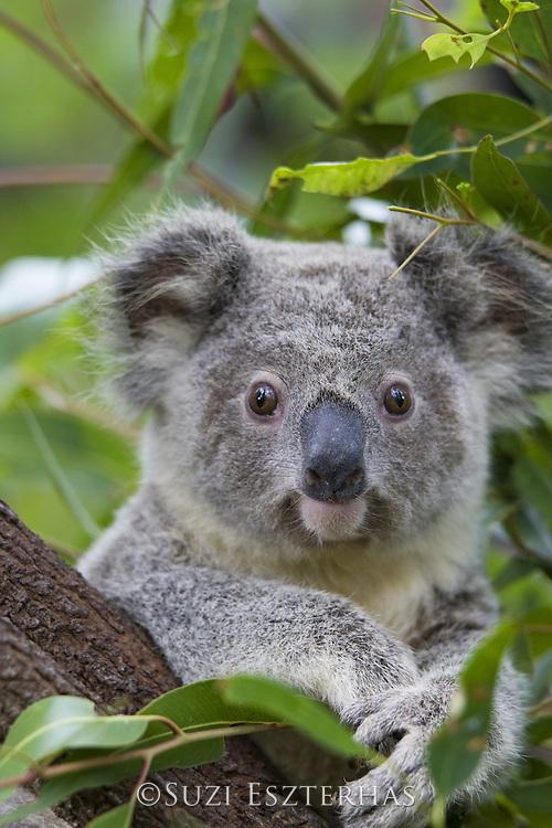 Koala <br /> Phascolarctos cinereus<br /> Eleven-month-old joey<br /> Queensland, Australia<br /> *Captive
