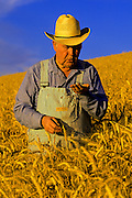 Image of a farmer in a wheatfield checking grains of wheat, Waitsburg, Palouse, eastern Washington, Pacific Northwest, model released by Randy Wells