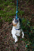 A pet Terrier dog plays harmlessly at biting frayed rope in a home garden. Using its instincts to bite at the cord, it growls and snarls and we know it is playing as part of a fun game rather than using its aggression to attack other animals or worse, people. Using its strong front canine teeth and jaws, the dog is lifted off the ground and hangs on to the material that supports its weight.