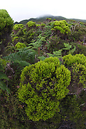 Erica azorica, endemic to the Azores, Pico, Azores, Portugal