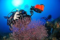 Taucherin fotografiert Pygmaeenseepferdchen auf Flecht Gorgonie, Scuba diver takes pictures of pygmy seahorse on Gorgonian Coral, underwater-photographer, Unterwasser-Fotografin, Bali, Indonesien, Indopazifik, Bali, Tulamben, Indonesia Asien, Indo-Pacific Ocean, Asia