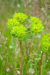 Sun Spurge. Euphorbia helioscopia