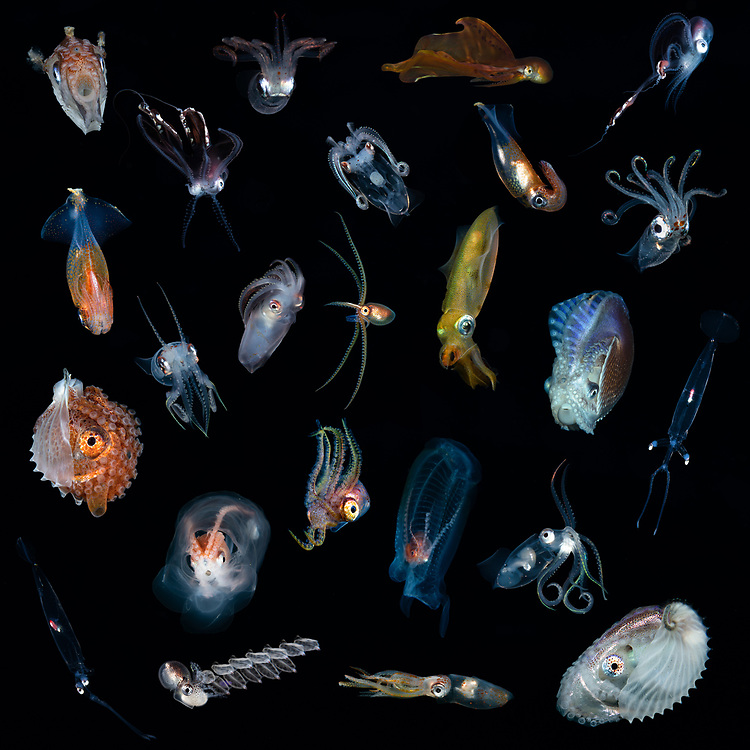 A selection of the rare cephalopod discovered at the Poor Knights Islands. Many have never been photographed in NZ by divers before.<br /> Most but not all are ID'd.