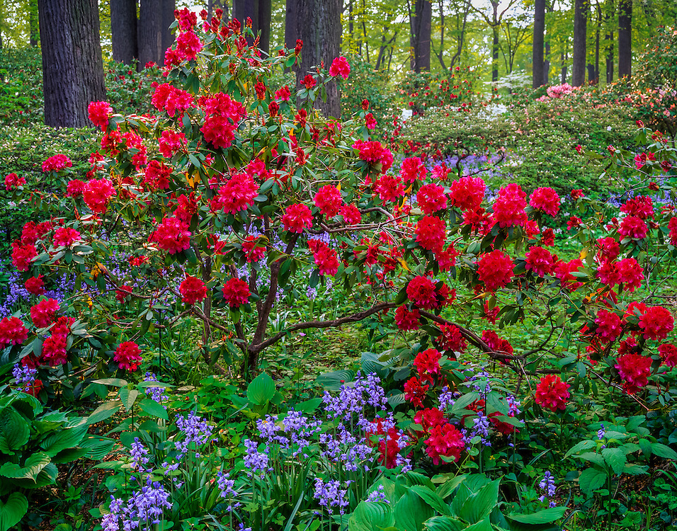 Scarlet colored rhododendron & Spanish Bells with trees & forest, Winterthur Gardens, Winthur, DE