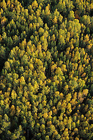 Birch forest, Betula verrucosa, Uppland, Sweden
