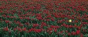 Field of red tulips, Skagit River Valley, Mount Vernon, Washington