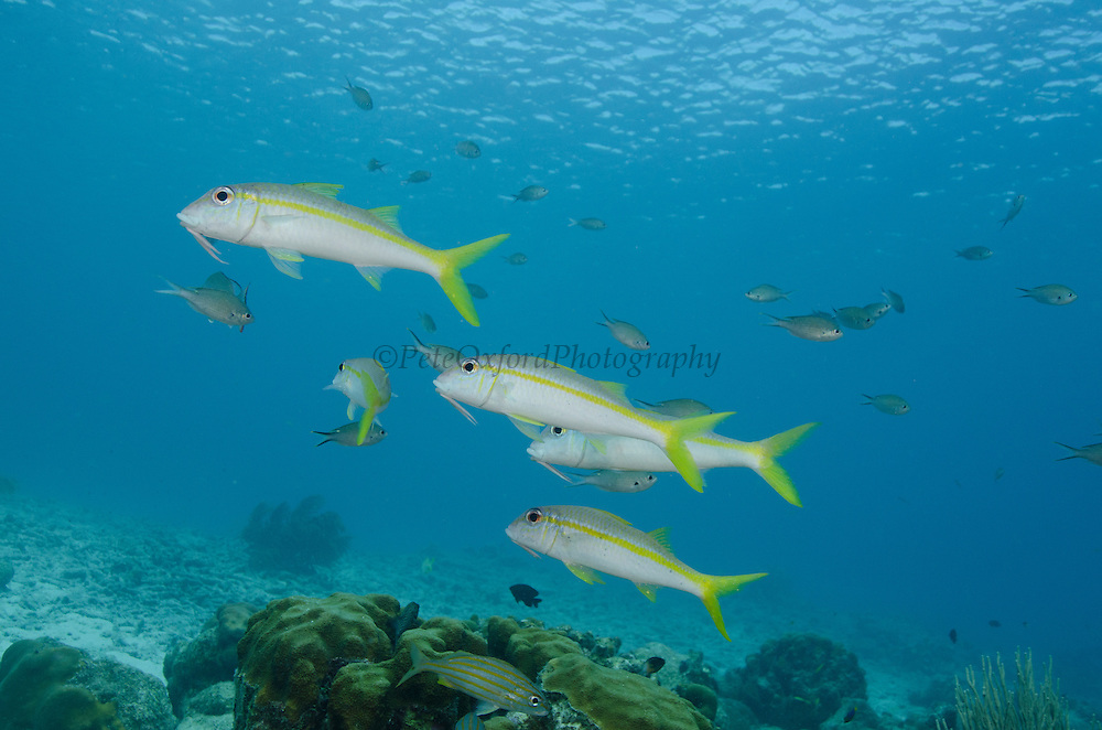 Yellow Goatfish (Mulloidichthys martinicus)<br /> BONAIRE, Netherlands Antilles, Caribbean<br /> HABITAT & DISTRIBUTION: Digs in sand near reef structures. <br /> Florida, Bahamas, Caribbean, Gulf of Mexico, Bermuda south to Brazil.