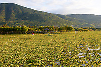 Invasive species water hyacinths (Eichhornia crassipes) blanket Lake Chapala,  Jalisco, Mexico. Despite extensive efforts by the Jalisco Government over a number of years to eradicate this introduced species it continues to spread, 2018 proving worse than ever causing flooding by blocking canals, ditches and pipes and decreasing dissolved oxygen endangering local fish stocks.