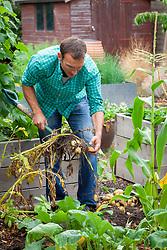 Digging up potatoes with a fork. Solanum tuberosum