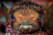 Diodon holacanthus (Longspined porcupinefish)