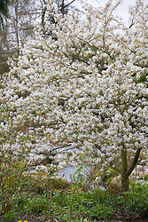 Amelanchier canadensis in blossom. Snowy Mespilus, Shadbush