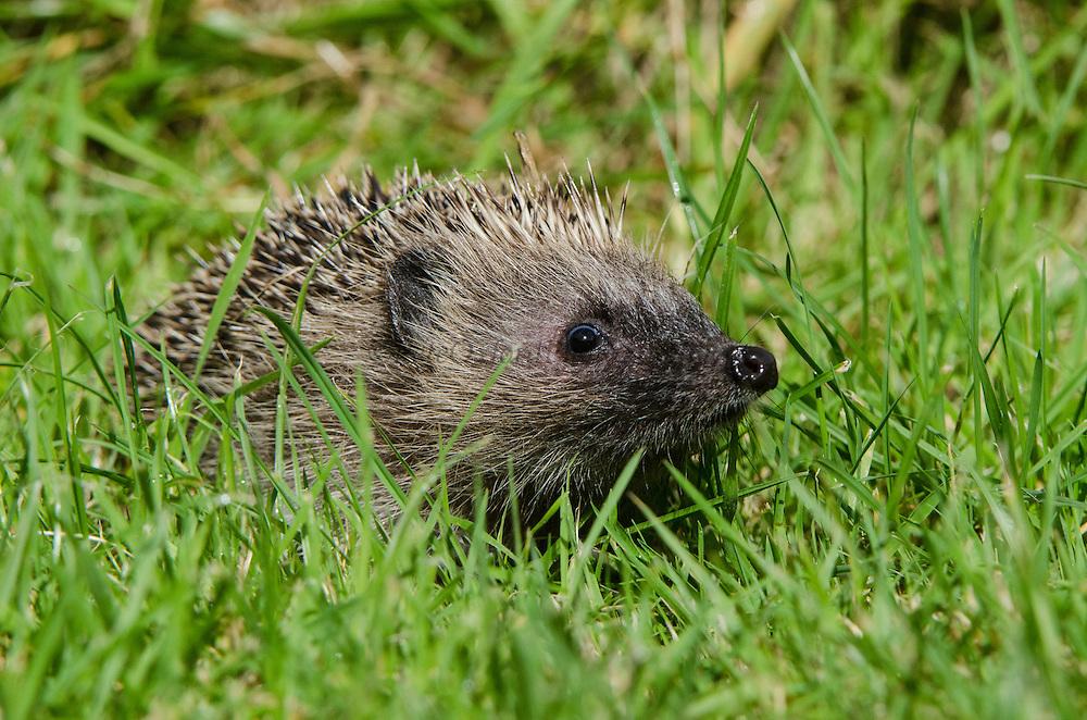 European Hedgehog (Erinaceus europaeus)<br /> Secret World Wildlife Rescue Center<br /> Somerset<br /> England<br /> UK<br /> captive
