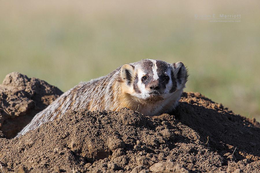 American badger