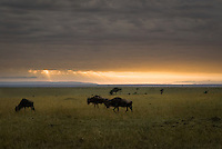Blue Wildebeest at sunrise in the Masai Mara National Park, Kenya