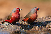 Pair of African firefinches (Lagonosticta rubricata) from Zimanga, South Africa.