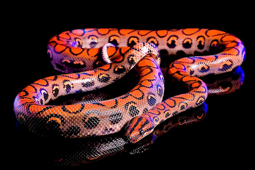 Brazilian Rainbow Boa Constrictor (Epicrates cenchria cenchria) Captive snake, photographed on black glass.