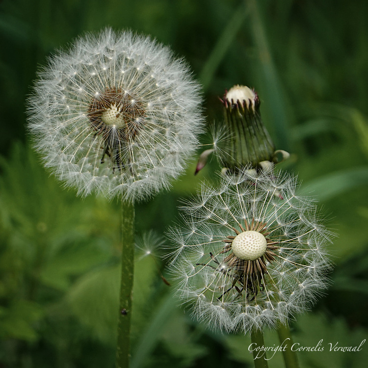 Dandelion seeds all set to fly away to new destinies, at the Native Meadow in Central Park today May 8, 2021.