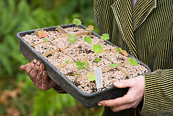 Pricking out seedlings of Geranium wallichianum 'Buxton's Blue'. Carrying away finished tray of seedlings