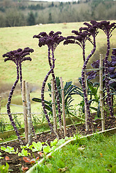 Kale staked with canes in winter