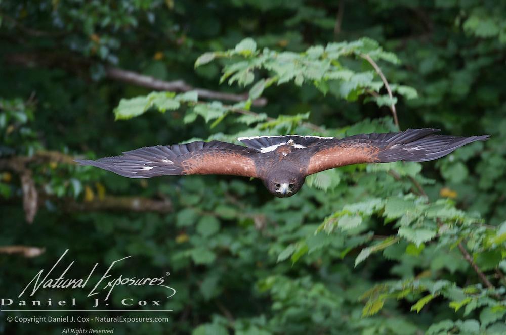 Harris hawk, part of the falconry exhibit at the Ashford Castle, Ireland.