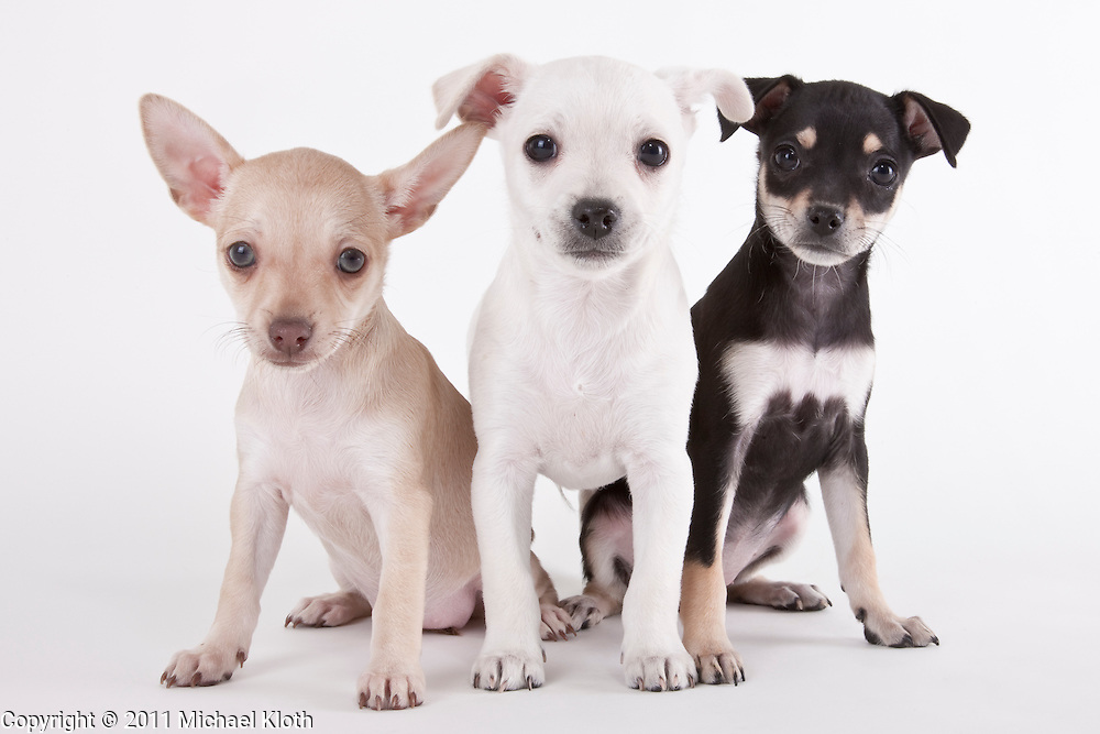 Three Chihuahua mix puppies sitting on a white seamless background.  Puppies were photographed while waiting for adoption at the humane society.