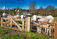 BLOEMENDAAL - Ook de velden van de HC Bloemendaal zijn afgesloten ivm Coronavirus. Ook de koeien naast het veld zijn in afwachting….. COPYRIGHT KOEN SUYK