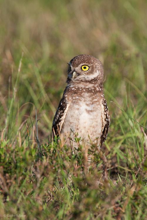 Burrowing owl (Athene cunicularia). Sanibel Island, Florida.