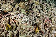 Papuan Scorpionfish (Scorpaenopsis papuensis)<br /> Raja Ampat<br /> West Papua<br /> Indonesia