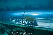 green sea turtle, Chelonia mydas (c), <br /> Atlantis Resort, Paradise Island, <br /> near Nassau, New Providence Island, Bahamas<br /> No MR
